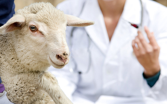 Afraid lamb in workers hands waiting for vaccination