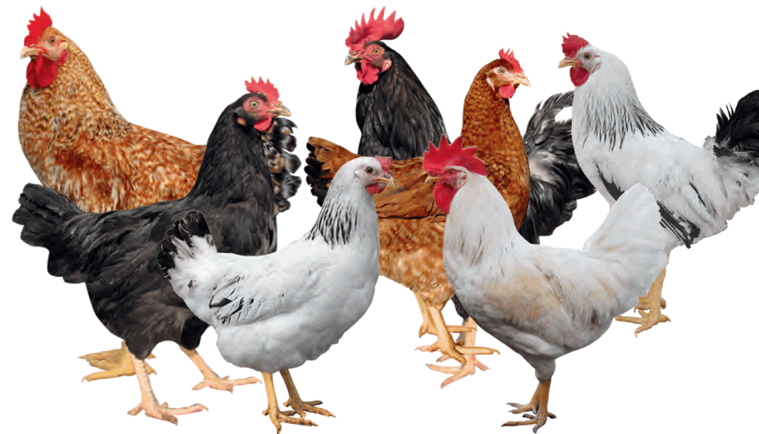 Biosecurity in poultry.