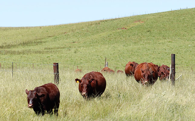Breeding a resistant and resilient Sussex stud herd
