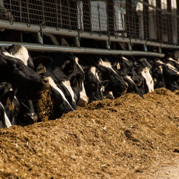 HOW AGRONOMY NEEDS TO DIFFER FOR DAIRY OPERATIONS