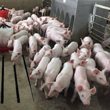 More Turnover and Consolidation Facing Pig Farmers